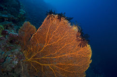 Sea fan Stock Photography