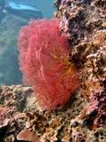 Sea Fan Stock Images