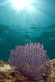 Sea fan stock photography
