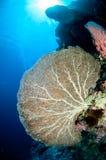 Sea fan Annella mollis in Banda, Indonesia underwater photo Royalty Free Stock Image