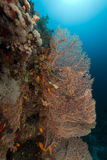 Sea fan and Anthias in the Red Sea. Royalty Free Stock Images
