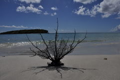 Sea Fan on the Beach. Sea Fan on Blue Beach, Vieques, Puerto Rico royalty free stock photography