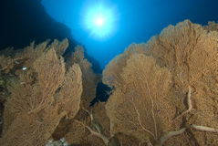 Sea fan colony Stock Photo