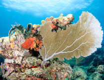 Sea Fan on a Coral Ledge Stock Photography