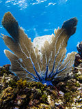 Sea fan on coral reef Stock Images