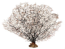 Sea fan coral. On white background Stock Photos