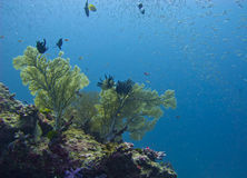 Sea fan coral Royalty Free Stock Images