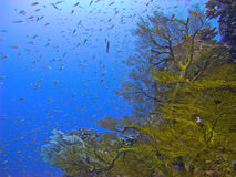 Sea fan coral Royalty Free Stock Photography