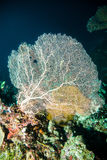 Sea fan diver scuba diving bunaken indonesia reef ocean Stock Photos