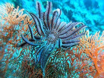 Sea fan and a feather star stock photo