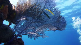 Sea fan, gorgonian coral in Bahamas reef. Amazing, beautiful underwater world Bahamas and the life of its inhabitants, creatures and diving, travels with them stock video footage
