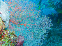 Sea Fan, Gorgonian, Great Barrier Reef, Australia Stock Photo