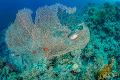 Sea fan habitat Royalty Free Stock Photos
