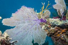 Sea Fan. At Horse Shoe Reef in the Florida Keys Barrier Reef stock photos