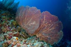 Sea fan Muricella sp. in Banda, Indonesia underwater photo Stock Image