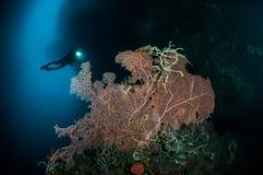 Sea fan Muricella sp. and rope sponge Aplysina cauliformis in Gorontalo, Indonesia. Stock Photo