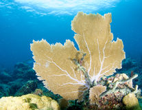 Sea Fan On A Coral Ledge Stock Images