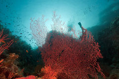 Sea fan in the Red Sea. Royalty Free Stock Photography