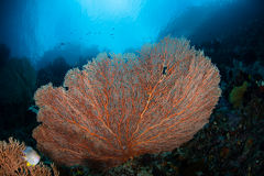 Sea Fan on Reef. A gorgonian grows on a reef wall in Raja Ampat, Indonesia. This region is known to harbor an extraordinary amount of marine life. It also offers Royalty Free Stock Photography