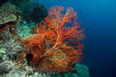Sea Fan. Reef scape with soft corals Stock Photo
