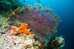 Sea Fan Stock Photos