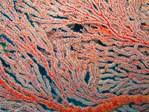 Sea fan Royalty Free Stock Image