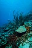 Sea fan Rumphella sp. in Derawan, Kalimantan, Indonesia underwater photo Royalty Free Stock Photos