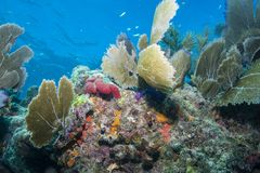 Sea Fan. At Horse Shoe Reef in the Florida Keys Barrier Reef royalty free stock photos