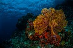 Sea fan Subergorgia mollis in Banda, Indonesia underwater photo Stock Photos