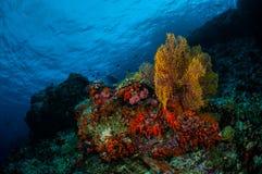 Sea fan Subergorgia mollis in Banda, Indonesia underwater photo Royalty Free Stock Images