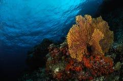 Sea fan Subergorgia mollis in Banda, Indonesia underwater photo Stock Photography