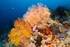 Sea fan Royalty Free Stock Photo