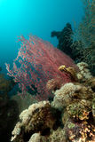 Sea fan and  underwater scenery in the Red Sea. Royalty Free Stock Photo