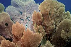 Sea Fans Royalty Free Stock Photography