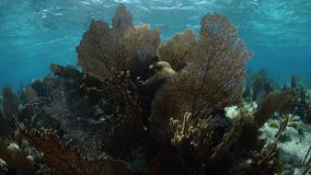 Sea Fans on Caribbean Coral Reef. Sea fans and other gorgonians thrive in the shallows of the Caribbean Sea. This diverse tropical region is a popular stock video