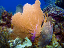 Sea Fans in Cayman Brac stock photos