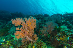 Sea Fans in Coral Reef Royalty Free Stock Images