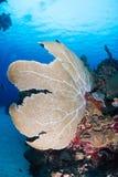Sea Fans Royalty Free Stock Photo