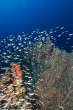 Sea fans and glassfish in the Red Sea. Royalty Free Stock Photos