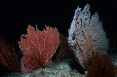 Sea Fans Stock Photo