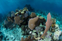 Sea Fans and Reef-Building Corals in Caribbean Royalty Free Stock Photography
