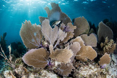Sea Fans and Sunlight in Caribbean Sea Royalty Free Stock Photos