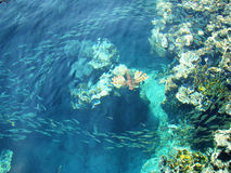 Sea fauna. School of fish on the reef flats in the Red Sea Stock Photo