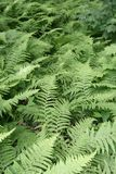 Sea of Ferns. Layers of ferns shot taken on a plot of land in the Berkshires that borders a large pond stock photos