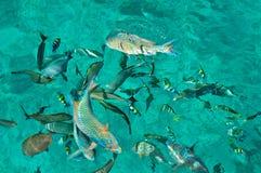 Sea fiah royalty free stock photo