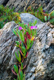 Sea Fig Iceplant Flowers growing on rocks Royalty Free Stock Photography