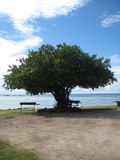 Sea Filao Tree Stock Images