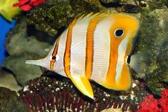 Sea fish. Beautiful yellow-white sea fish Stock Photography