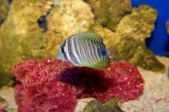 Sea fish. Cute striped fish on red Royalty Free Stock Image