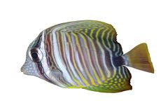 Sea fish. Cute striped fish isolated on white Stock Photos